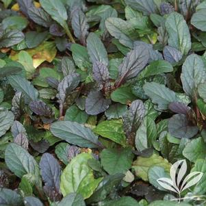 Ajuga reptans 'Bronze Beauty'