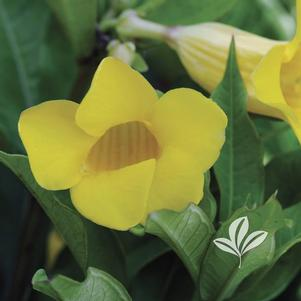 Allamanda cathartica 'Golden Butterfly'