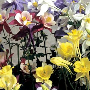 Aquilegia 'McKana Giant Mix'