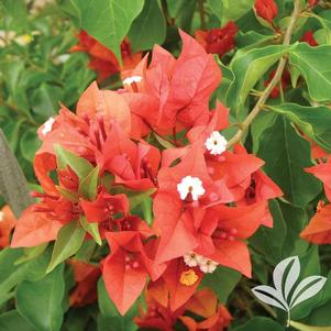 Bougainvillea 'Flame Red'