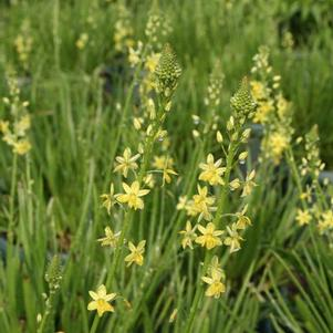Bulbine flavescens 'Shorty'