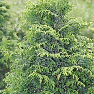 Chamaecyparis pisifera 'Dow Whiting'
