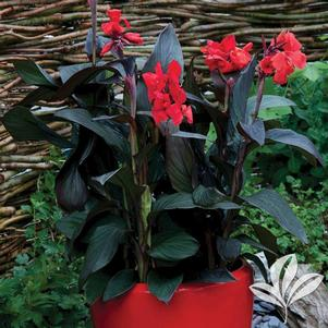 Canna x generalis 'Tropical Bronze Scarlet'