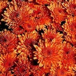 Chrysanthemum 'Empire Harmony'