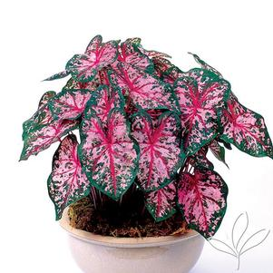 Caladium 'Carolyn Whorton'