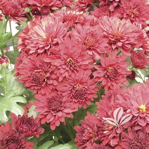 Chrysanthemum 'Helen'
