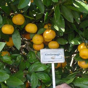 Citrus unshiu 'Kimbrough'