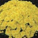 Chrysanthemum 'Bernadette Yellow'
