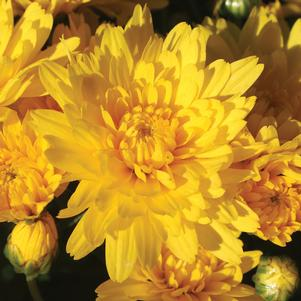 Chrysanthemum 'Brittany Yellow'