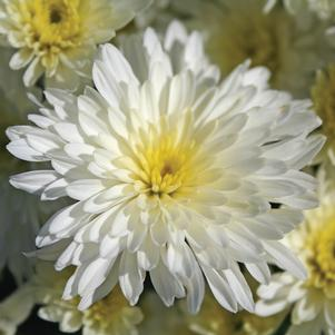 Chrysanthemum 'Bertha White'