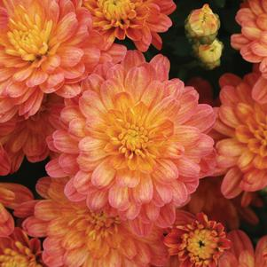 Chrysanthemum 'Jacqueline Orange Fusion'