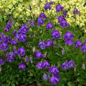 Campanula x pulloides 'Jelly Bells'