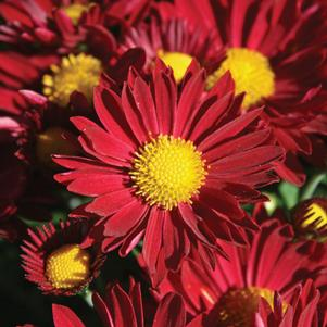 Chrysanthemum 'Edana Red'