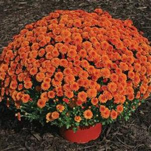 Chrysanthemum 'Hailey Orange'