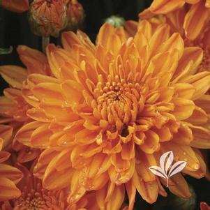 Chrysanthemum 'Aubrey Orange'