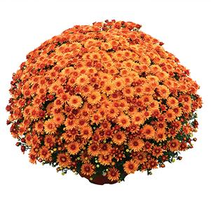 Chrysanthemum 'Beverly Orange'