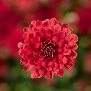 Chrysanthemum 'Danielle Red'