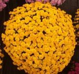 Chrysanthemum 'Akilon Gold'