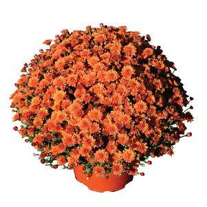 Chrysanthemum 'Keeley Orange'