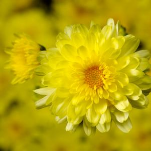Chrysanthemum 'Chelsey Yellow'