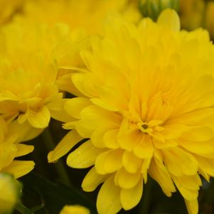 Chrysanthemum 'Elena Gold'
