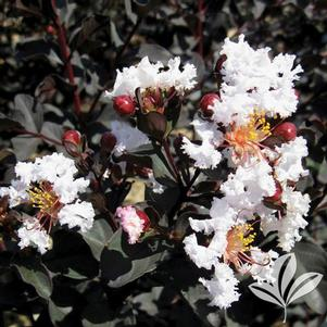 Lagerstroemia x 'Ebony and Ivory'