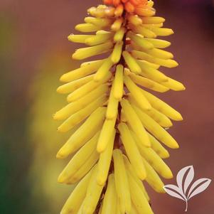 Kniphofia 'Rockette Yellow'
