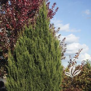 Juniperus virginiana 'J.N. Select Green'