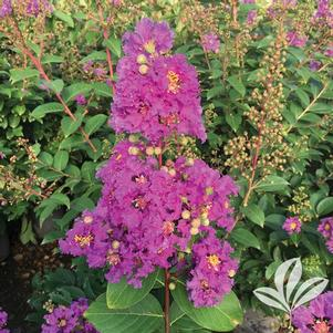 Lagerstroemia speciosa 'Tropical Purple'