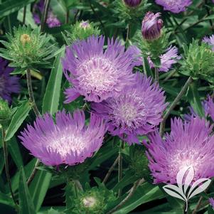 Stokesia laevis 'Honeysong Purple'