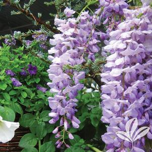 Wisteria floribunda 'Betty Tam'