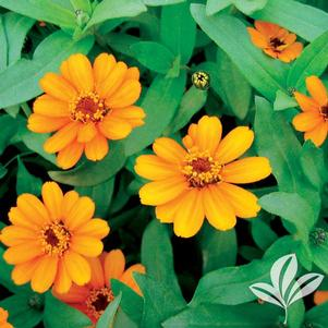 Zinnia angustifolia x elegans 'Profusion Orange'