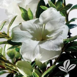 Rhododendron x 'Mootum'