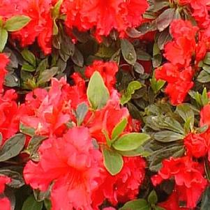 Rhododendron Belgian x 'Red Ruffles'