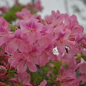 Rhododendron 'Chalet Glowing Pink'