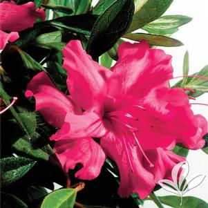 Rhododendron x 'Roblef'