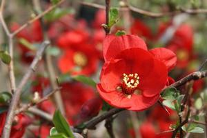 Chaenomeles x superba 'Crimson & Gold'