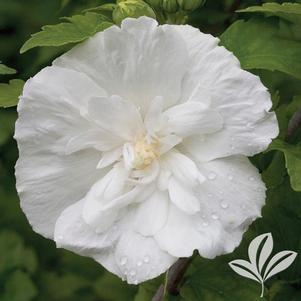 Hibiscus syriacus 'Notwoodtwo'