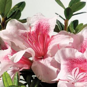 Rhododendron x 'Robled'