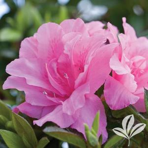 Rhododendron x 'Roblec'