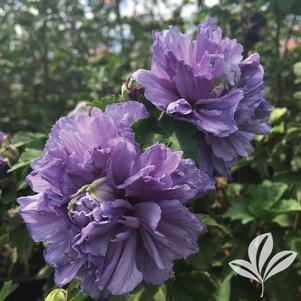 Hibiscus syriacus 'DS01BS'