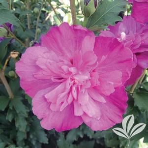 Hibiscus syriacus 'DS03RS'