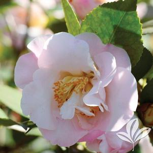 Camellia x 'High Fragrance'