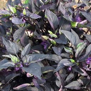 Capsicum annuum 'Purple Flash'
