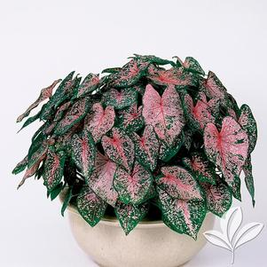 Caladium 'Pink Beauty'