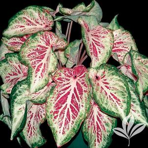 Caladium 'Peppermint'