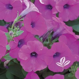 Petunia 'Shock Wave Purple'