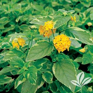 Lantana camara 'Yellow Variegated'
