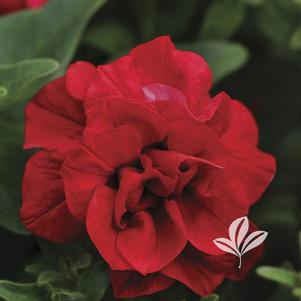 Petunia 'Kirimaji Double Red'