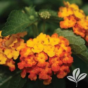 Lantana camara 'Orange Sunrise'